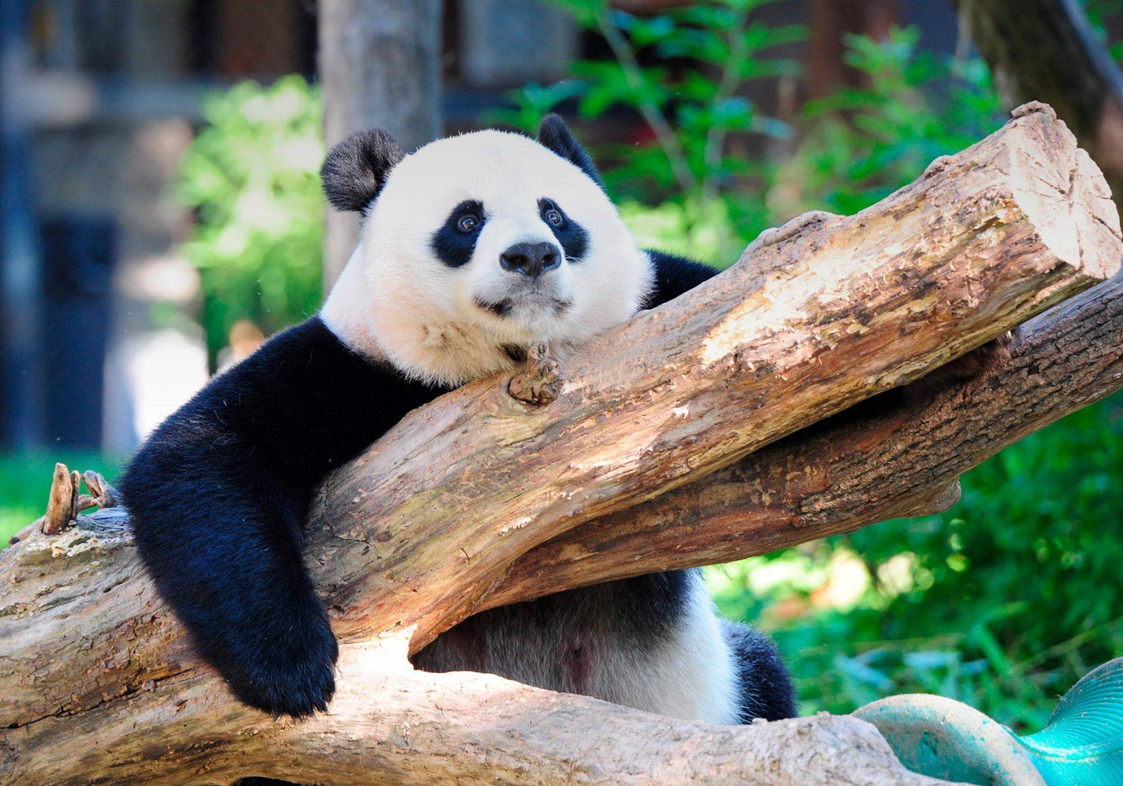 Un job chez les pandas, ça vous tente ?
